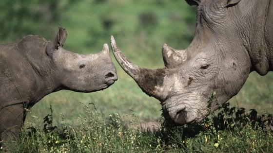 Rinoceronte, oggi la giornata mondiale del rinoceronte. Ma fra trent'anni potrebbe estinguersi
