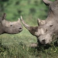 Rinoceronte, oggi la giornata mondiale del rinoceronte. Ma fra trent'anni potrebbe...