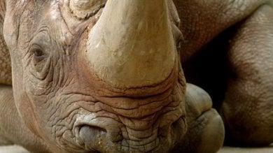 Giornata mondiale del rinoceronte  fra trent'anni potrebbe estinguersi   foto