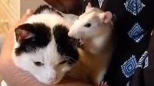Il topo fa le fusa al gatto L'amicizia sorprendente