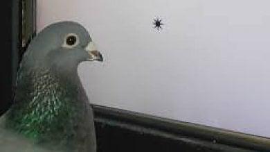 """""""Così i piccioni addestrati  riconoscono le parole""""   Video  L'esperimento"""