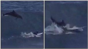 Sbuca dall'onda all'improvviso delfino centra in pieno surfista