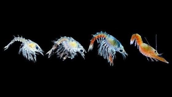 Oceani più caldi: le baby aragoste potrebbero scomparire
