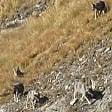 Avvistato branco di 11 lupi sulla valle di Cervinia