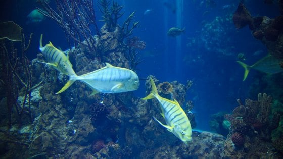 I pesci cantano al tramonto e all'alba: ascolta i richiami della Grande Barriera