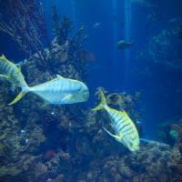 I pesci cantano al tramonto e all'alba: ascolta i richiami della Grande
