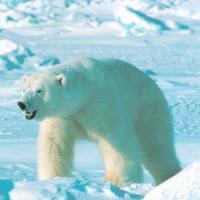 Norvegia, troppi turisti cacciatori: nel mirino gli orsi polari