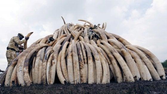 Sos elefanti: il mondo chiede lo stop al traffico illegale di avorio