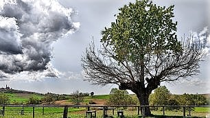 Asti, due anime in un albero: il prodigio del ciliegio cresciuto sopra il gelso
