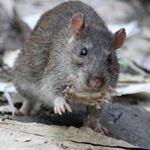 """I topi innamorati """"cantano"""" a ultrasuoni. Che potrebbero curare balbuzie e autismo"""