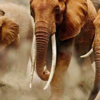 """Allarme bracconaggio: """"Elefanti e pappagalli, ecco le specie più a rischio''"""