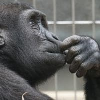 Scimmie, così simili all'uomo: i comportamenti