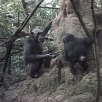 Scimpanzé, così le mamme insegnano ai figli: il video