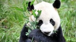 È morta Jia Jia, la più vecchia femmina di panda gigante del mondo