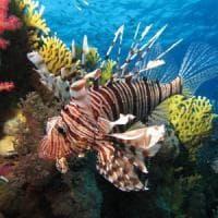 """Il pesce scorpione arriva nel Mediterraneo, l'Ispra avvisa: """"È pericoloso"""""""