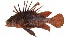 Il pesce scorpione arriva nel Mediterraneo, l'Ispra avvisa: È pericoloso