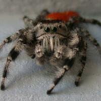 I ragni percepiscono vibrazioni e rumori: il segreto è nella peluria
