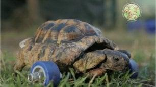 La tartaruga con le ruote così Alex torna a camminare