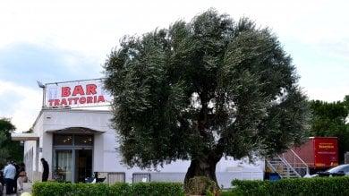 Xylella, il diktat Ue dopo il caso nella zona degli ulivi millenari: Sradicare piante entro i 100 metri