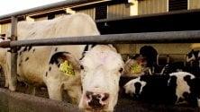 Legambiente: il 71%  degli antibiotici in Italia va agli animali da macello