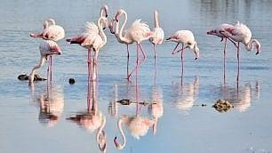 In Salento lo spettacolo    dei fenicotteri rosa allo specchio