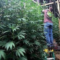 Cannabis, anche Vasco Rossi e Roberto Saviano firmano la proposta di legge