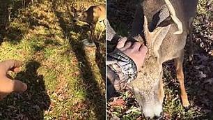 Cervo intenerisce il cacciatore si avvicina per farsi coccolare