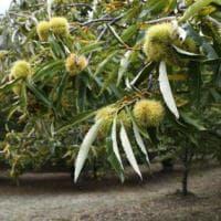 Serrastretta: il regno delle castagne piccole e dolcissime