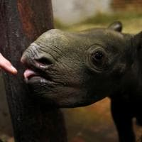 Repubblica Ceca, il baby rinoceronte nero conquista i fotografi