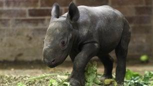 A rischio estinzione, nasce allo zoo Festa per il baby rinoceronte nero