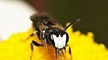 Sette tipi di api nella lista delle specie in pericolo