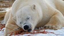 L'agonia degli orsi polari nella baia di Hudson