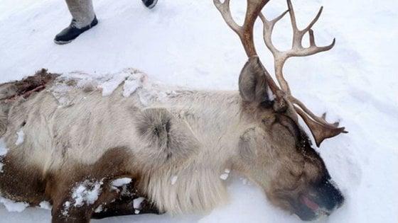 Siberia, le renne muoiono di fame: così il cambiamento climatico uccide