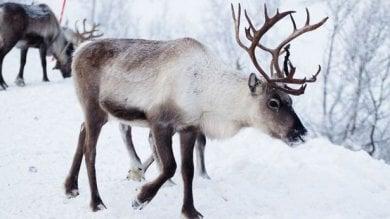 Siberia, le renne muoiono di fame  così il cambiamento climatico uccide