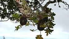 Fiji, quelle formiche si comportano come contadini  di CRISTINA NADOTTI
