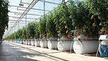 Coltivare pomodori nel deserto con la serra hi-tech /   Le foto