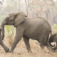 L'allarme di Elephant Voice: ''I cuccioli nascono senza zanne''