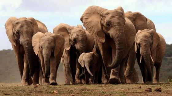 Gli Elefanti Nascono Senza Zanne Per Sopravvivere Ai Bracconieri
