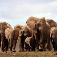 """Gli elefanti nascono senza zanne. """"Per sopravvivere ai bracconieri"""""""