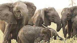 Gli elefanti nascono senza zanne, per sopravvivere ai bracconieri