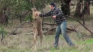 """Dà un pugno a canguro nello zoo Gli animalisti: """"Licenziatelo"""""""
