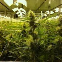 Troppa cannabis legale, si rischiano black out elettrici negli Usa