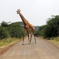 Giraffe a rischio: verso un'estinzione 'silenziosa'