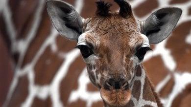 Giraffe a rischio estinzione 'silenziosa'