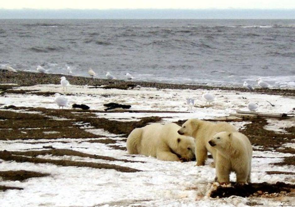 Nel 2050 resteranno solo 9mila orsi bianchi