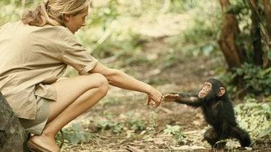 """Jane Goodall: """"Fratelli scimpanzé  così simili a noi. Ci insegnano l'umiltà"""""""