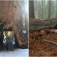 Maltempo in California: crolla il Pioneer Cabin Tree, sequoia secolare