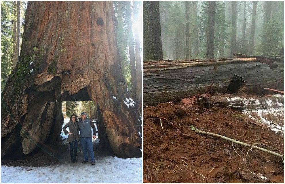 Maltempo in California: crolla il Pioneer Cabin Tree, sequoia secolare