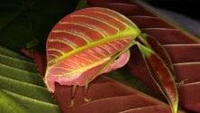 Dal Borneo nuove specie mimetiche di insetti-foglia