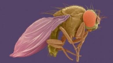 Un insetto da Jurassic Park: Drosophila modificata con geni antichissimi